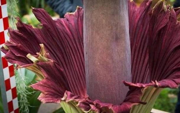 У Бельгії розцвіла найбільша квітка у світі