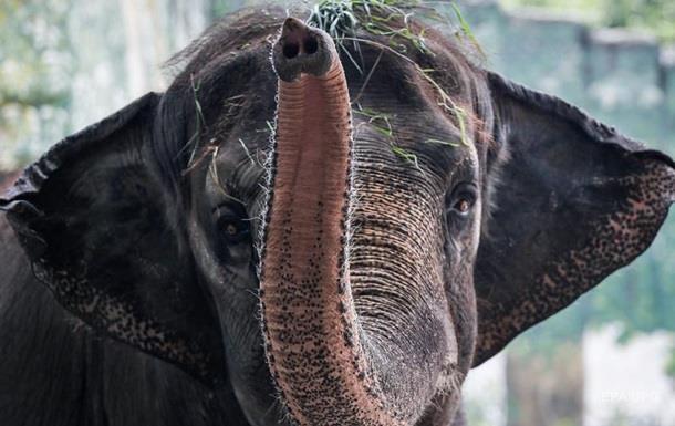 У Марокко слониха вбила дитину