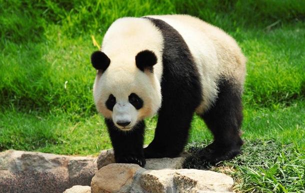 Панди перестали бути  вимираючим  видом
