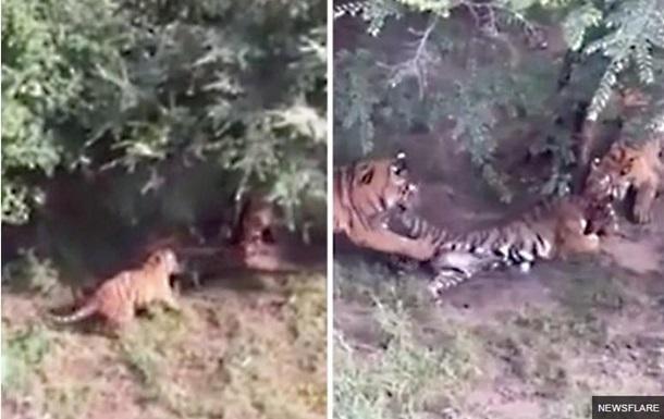 Растерзание тигрицы ее сородичами сняли на видео