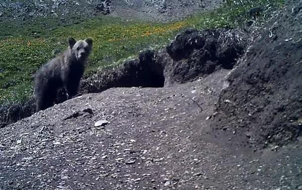 На Алтае заметили  вымерший  подвид бурого медведя