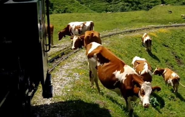 Поїзд з фанатами на смерть збив стадо корів