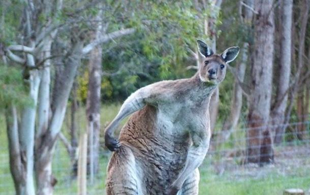 Мускулистый самец кенгуру удивил Сеть