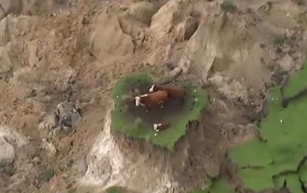 У Новій Зеландії три корови стали  остров янками