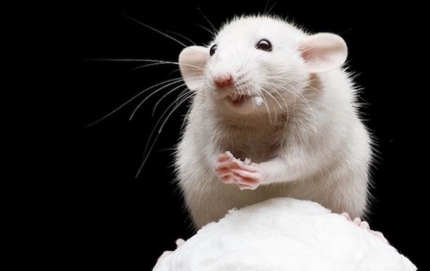 Літніх мишей уперше омолодила людська кров