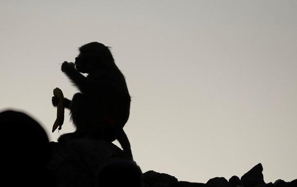 Мавпа стала причиною збройного конфлікту в Лівії