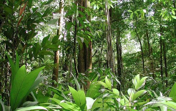 Виявлено найвище дерево Африки
