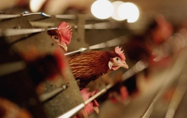 У Китаї через пташиний грип зупинили торгівлю курятиною