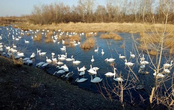 Лебеді на Буковині загинули від пташиного грипу