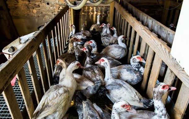 У Франції вб ють понад мільйон качок
