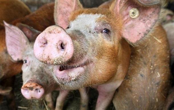 У Криму знищили понад півтори тисячі свиней