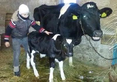 Одна корова - добре, а дві - краще