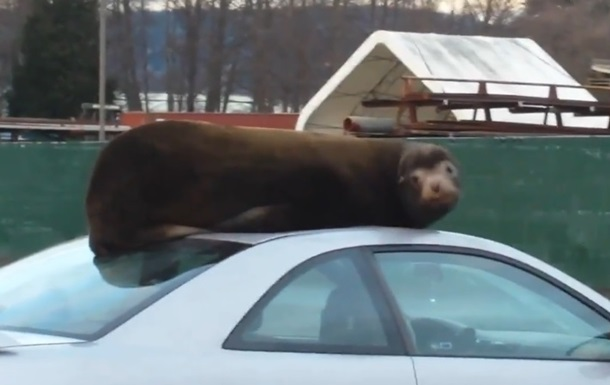 Морський лев вирішив подрімати на даху авто