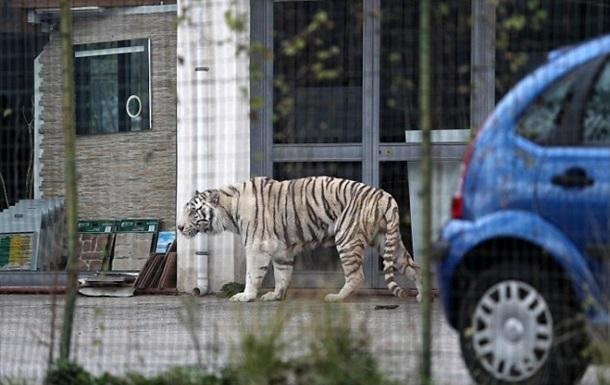 В Сицилии тигр сбежал из цирка и гулял по улицам