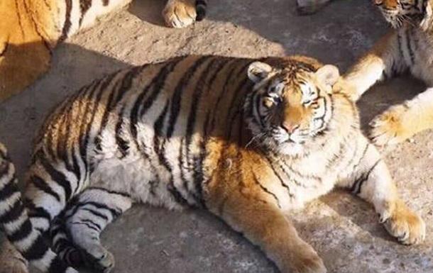 В Китае растолстели амурские тигры