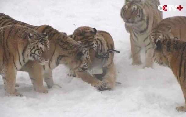 У Китаї товсті тигри збили безпілотник