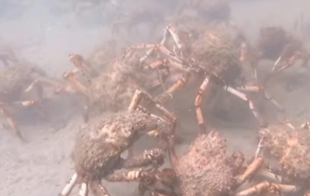 Роздирання крабами кальмара показали на відео