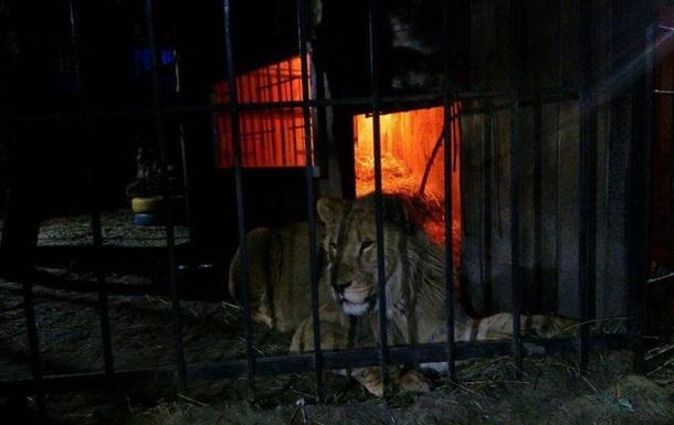 В Запорожье лев напал на посетителя бани