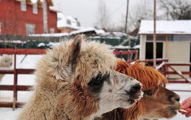 У Луцьку відвідувачі зоопарку до смерті загодували альпаку