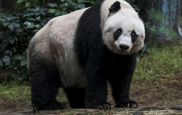 У Китаї помер випущений на волю самець панди