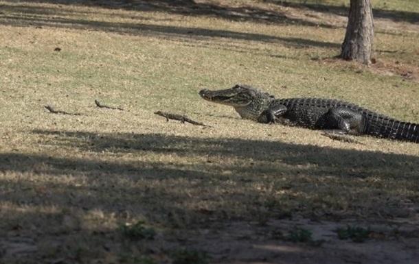 Самка алігатора вигуляла дитинчат на гольф-полі