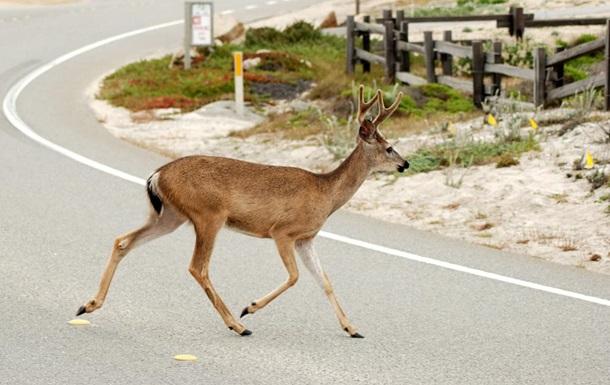 У Канаді олень, біжучи, збив з ніг пішохода