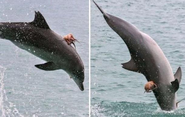 Осьминог оседлал дельфина, не желая быть съеденным