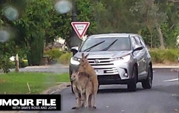 В Австралии спаривающиеся кенгуру заблокировали дорогу
