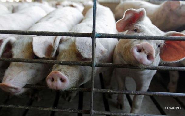 У Київській області зафіксували чуму свиней