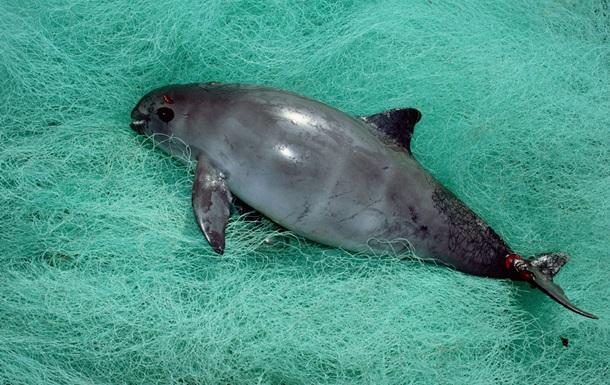 Каліфорнійська морська свиня виявилася на межі вимирання