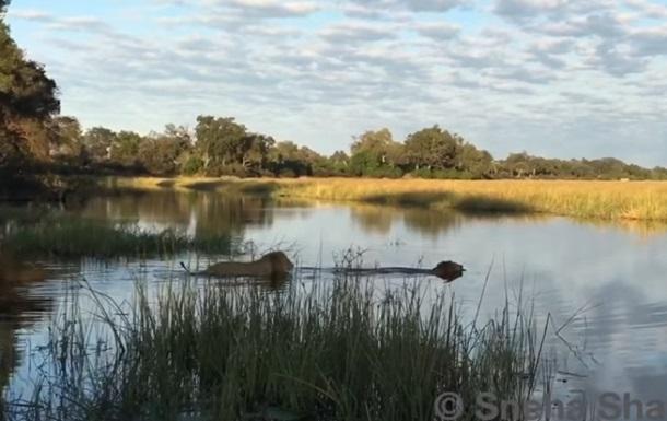 В Сети показали схватку двух львов с крокодилом