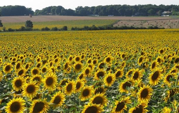 Виробництво соняшникової олії зросло на чверть