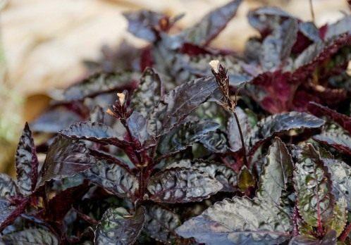 Цветок гемиграфис — удивительное растение