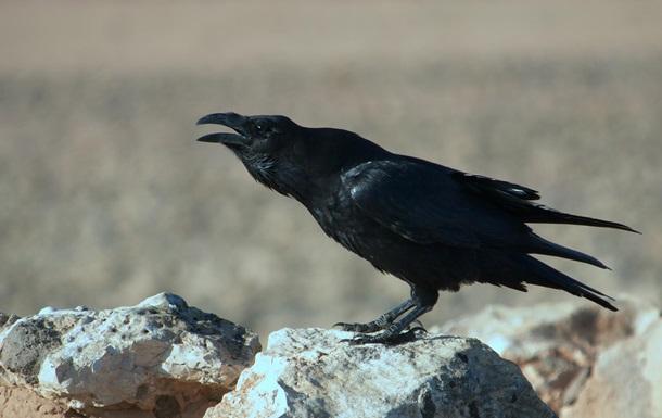 Вороны помнят тех, кто их обманывает – ученые