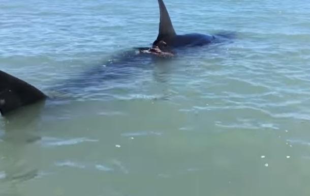 В Сети показали гигантскую раненую акулу-людоеда