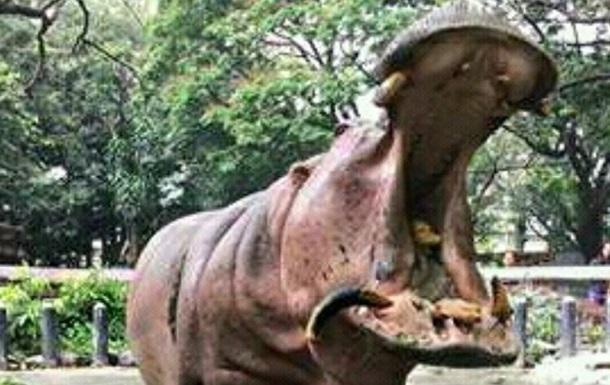 На Филиппинах умер самый старый бегемот