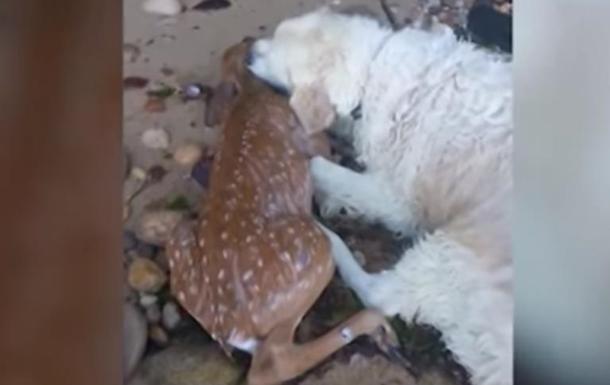 В США пес спас тонущего олененка