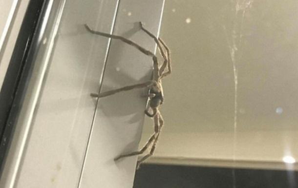 В Австралии семью напугал гигантский паук