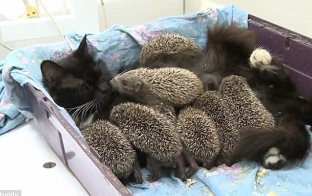 Кішку, що усиновила вісьмох їжаків, зняли на відео