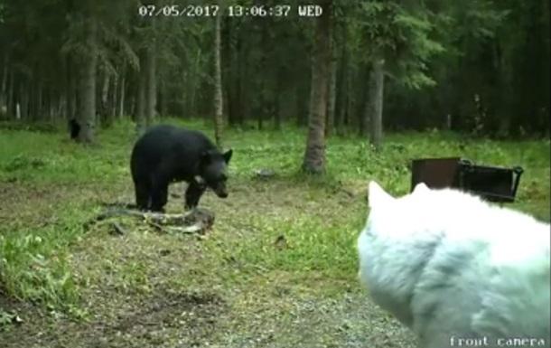 Атаковавшего хаски медведя сняли на видео