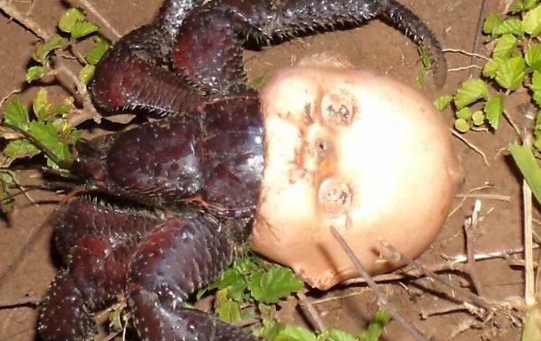 Живущего в кукле рака-отшельника сняли на фото