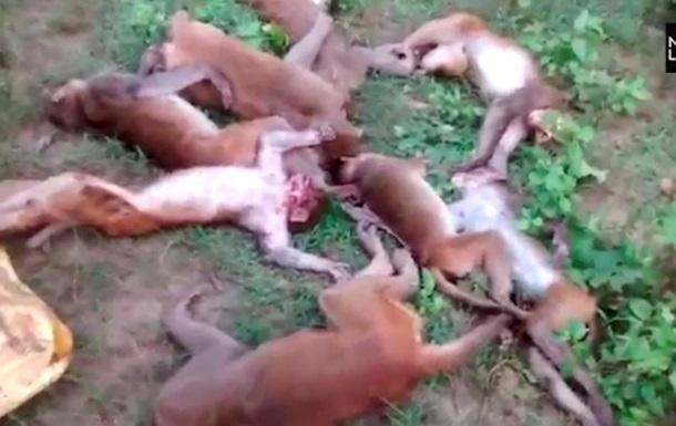 В Индии 12 обезьян умерли от остановки сердца