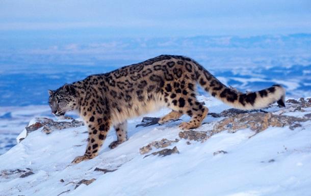 Снежные барсы перестали быть вымирающим видом