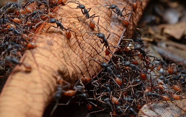 Вчені: 40% мурах-робітників нічого не роблять