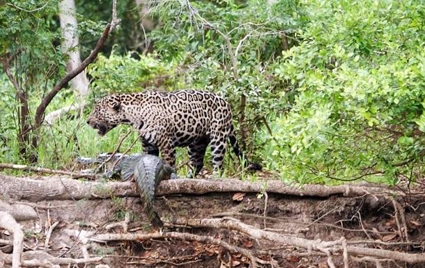 Битву ягуара и каймана сняли на видео