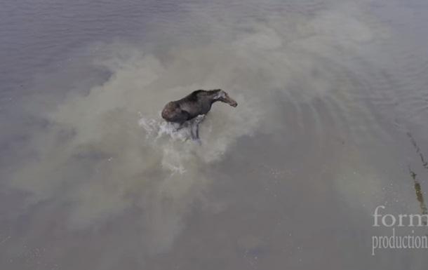 Рідкісне відео: дрон зняв сутичку лося з вовком