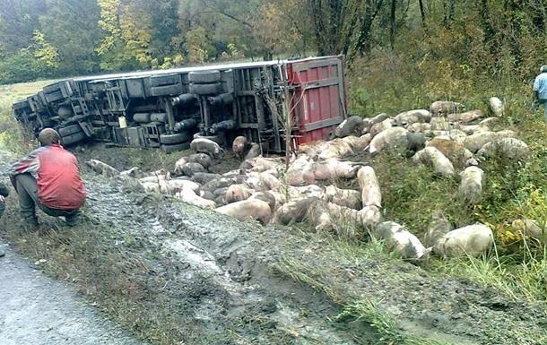 На Полтавщине перевернулась фура со свиньями