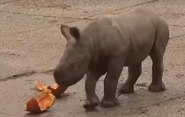 В зоопарке Праги родился детеныш редкого носорога
