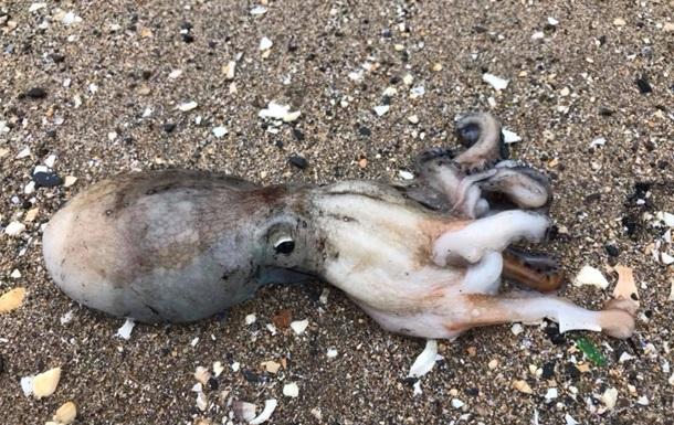 На пляже в Британии необычное нашествие осьминогов