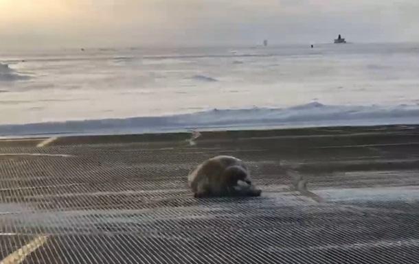 Сеть удивил отдыхающий на взлетной полосе тюлень